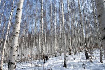 자작나무 숲의 겨울, 강원도 인제, 대한민국