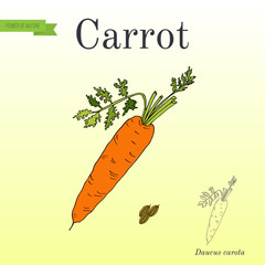 Carrots. Series of vegetables and ingredients for cooking.