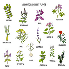Best mosquito repellent plants