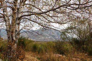 Abedul y paisaje de montaña. Betula pubescens, alba.