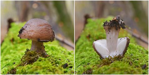 pluteus cervinus mushroom