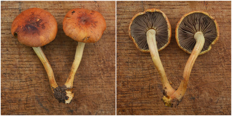 hypholoma lateritium mushroom