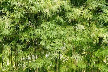 Natural green bamboo forest landscape background