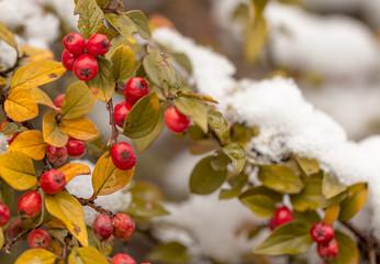 Rote Beeren der Zwergmispel (Cotoneaster horizontalis) im Schnee