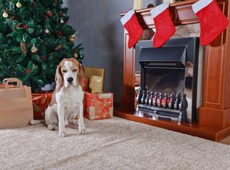 Beagle near a Christmas tree.