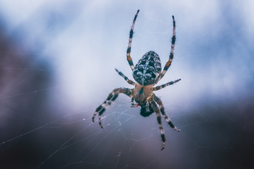 Cross spider eats prey against the sky