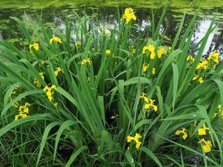 Iris pseudacorus flowers