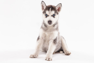Husky puppy on a white background