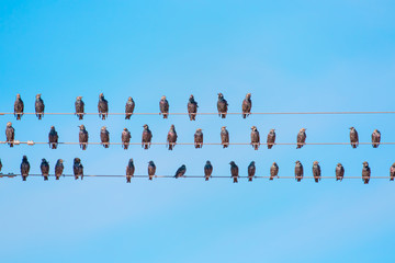 Starlings sitting on a electrical wire against blue sky