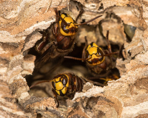 European hornets (Vespa crabro) defending hole in nest. Large wasps active at paper nest, showing defensive behaviour, in Wiltshire, UK