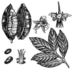 Set Cocoa beans vector illustration. Engraved style illustration. Sketched hand drawn cacao beans, tree, leafs and branches.