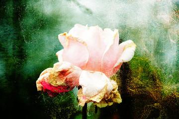 Biało-różowa róża na abstrakcyjnym tle