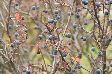 berries on a bush autumn background