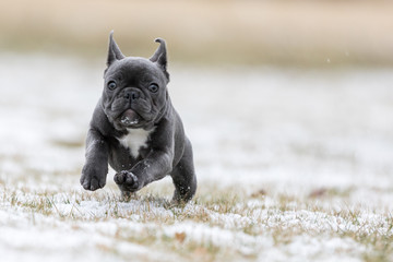Foto op Plexiglas Franse bulldog French Bulldog Photos