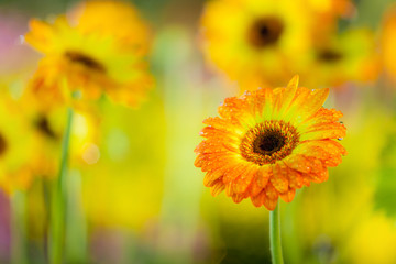Orange with yellow gerbera