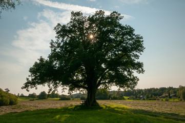 large oak tree light streaks from sun