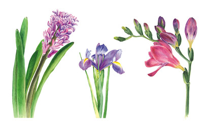 Botanical watercolor illustration of hyacinth, freesia and iris on white background. Could be used for web design, polygraphy or textile flower