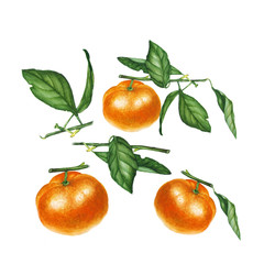 Botanical watercolor illustration of orange tangerine mandarine isolated on white background