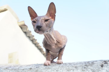 cat breed Sphynx sits on the street
