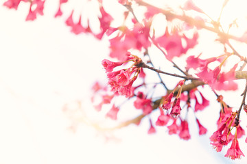 Soft focus Cherry Blossom or Sakura flower.