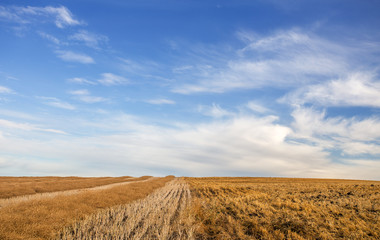 A centered dividing line between a harvested field and a field of swathed rows ready for threshing in a gold colored countryside landscape under blue cloudy afternoon sky