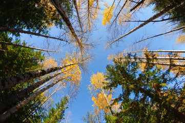 Fall colors around Moose Lake in Northern Idaho taken looking up with a wide angle lens