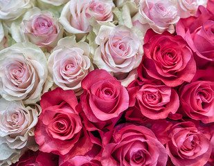 Beautiful background of roses. Red and pink buds in a large bouquet.