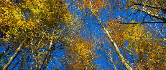 Goldener Herbst, Birkenwald