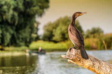 Cormorant (Phalacrocorax auritus) in Danube Delta Romania