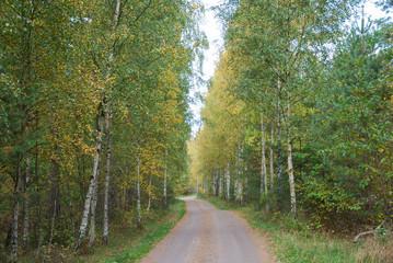 Gravel road through a birch tree forest