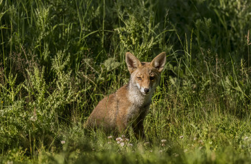 A Red Fox juvenile, sitting on the grass