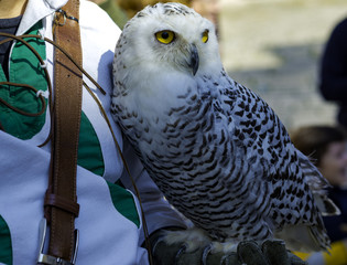 Owl sitting on falconry glove at the festival of historical reconstruction.