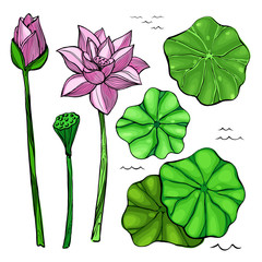 Flowers and leaves of the lotus