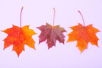 Autumn maple leaves on bright background