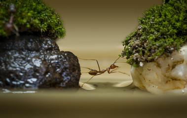 Crossing Ant