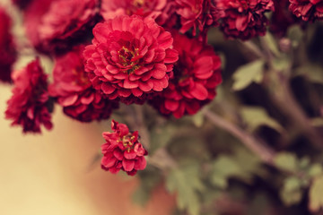 Close up of red mum flowers