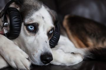 blue eyed husky beagle cross dog wearing headphones