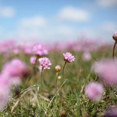Armeria maritima flowers on the Danish coast in spring