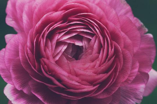 Macro of pink ranunculus flower
