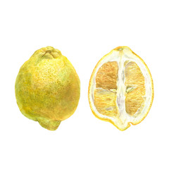 Botanical watercolor illustration of yellow lemon whole and cut isolated on white background