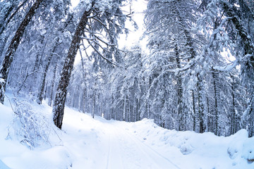 Pine forest in the snow