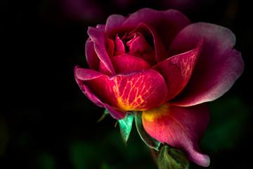Multicolored rose