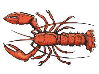 sketch of lobster