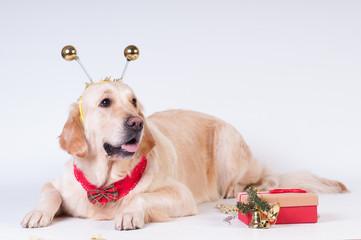 Golden retriever in Christmas style