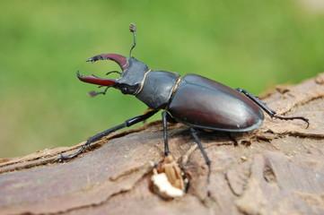 Lucane mâle (Lucanus cervus)