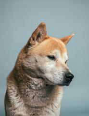 portrait of shiba inu dog
