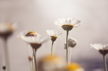 White daisy flowers grow toward the light against a pale backdrop