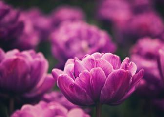vibrant purple tulip garden