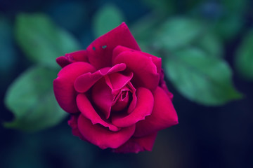Close up of red rose flower