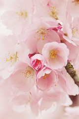 Pale pink cherry blossom